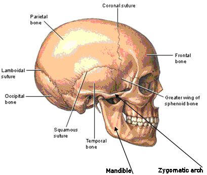 Bones and sutures of the skull: (the sagittal suture is not seen here - it